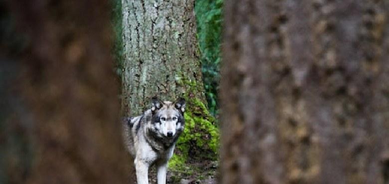 Zu Risiken und Nebenwirkungen - Der einsame Wolf