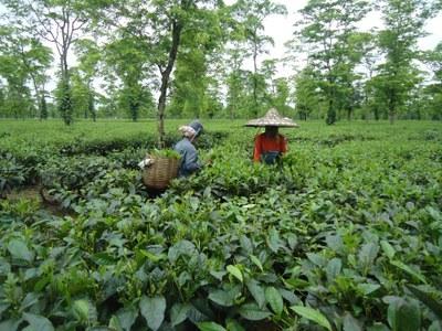Assam Teeplantage